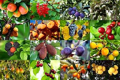 Arboles frutales santagro innova s l for Arboles frutales para jardin